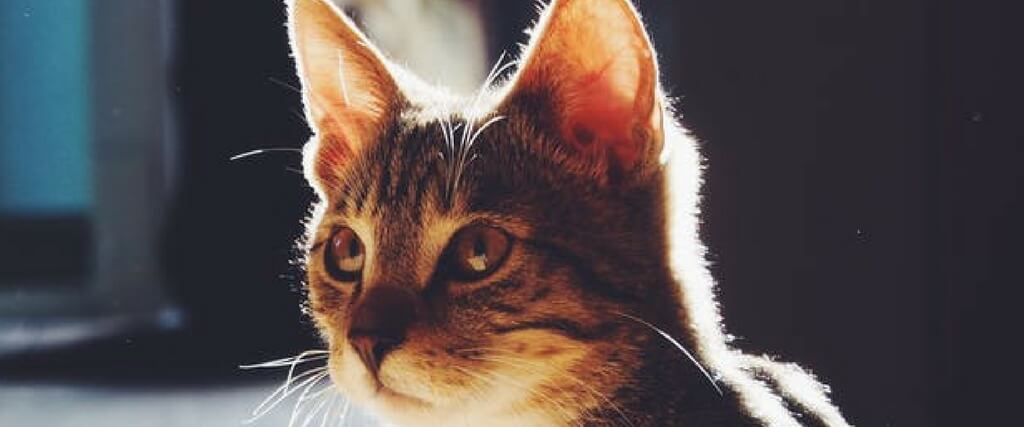 Cat Vaccinations: Which Ones Are Necessary? | Ingleside